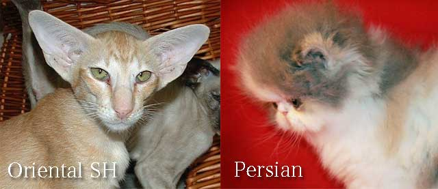 facebook-cats-for-sale