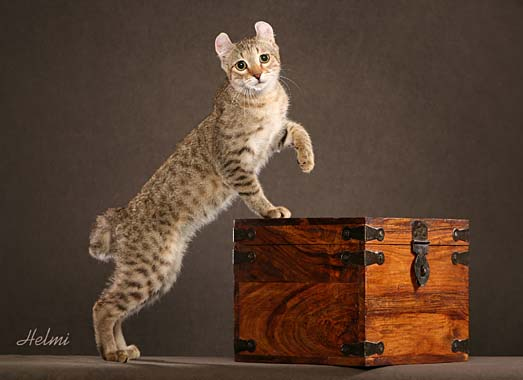 Highlander cat - Photo copyright Helmi Flick