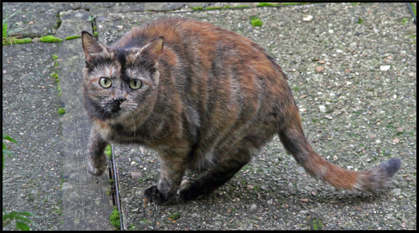 Tortoiseshell cat London UK