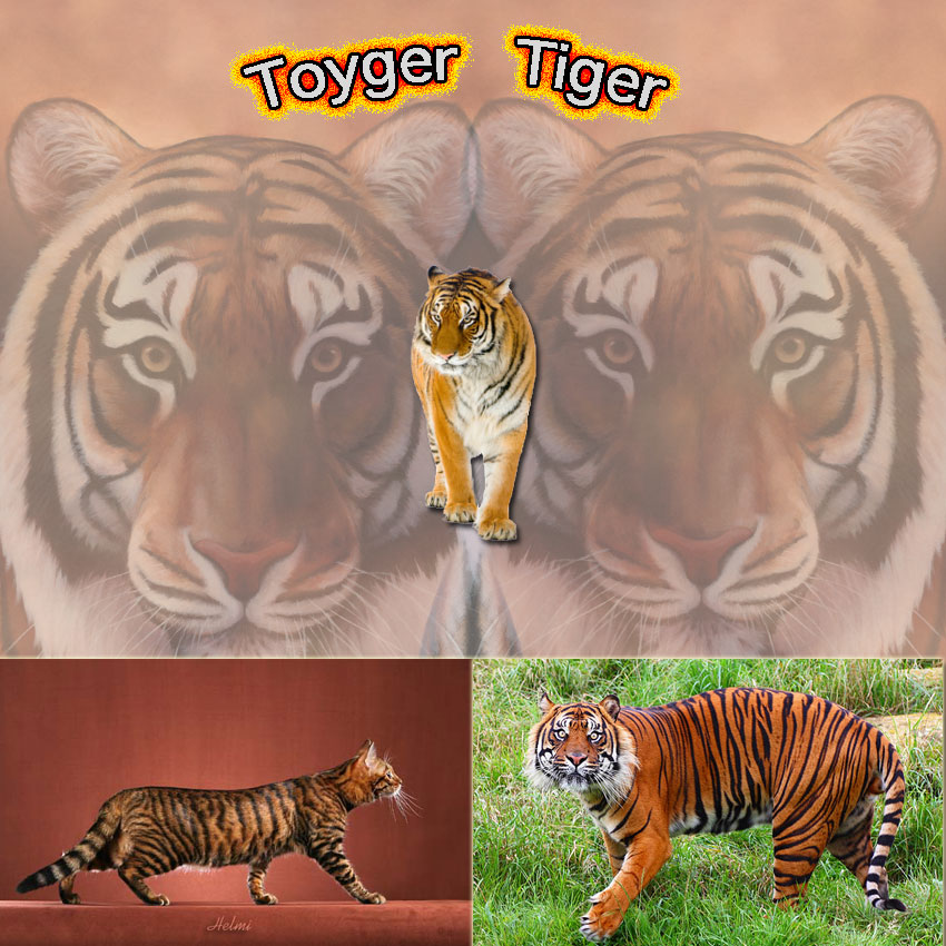 Toyger cat is popular