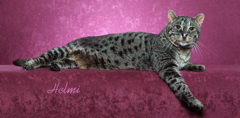 Bagral cat or Machbagral cat a rare wild cat hybrid
