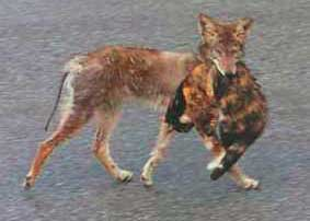Coyote with cat in its mouth