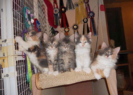 Maine coon kittens from Stella Gaylor a breeder