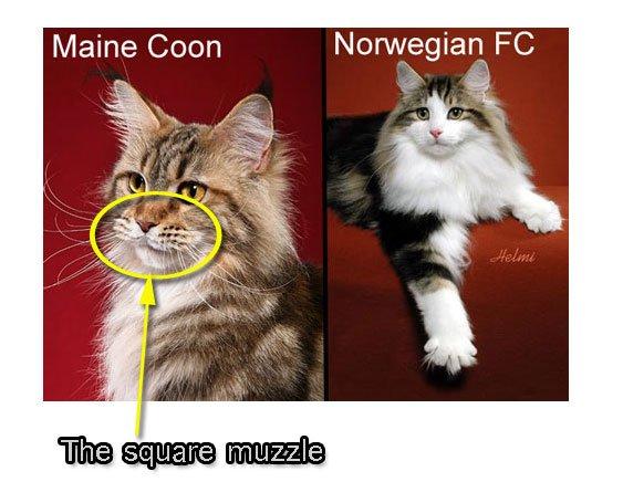 Maine Coon square muzzle