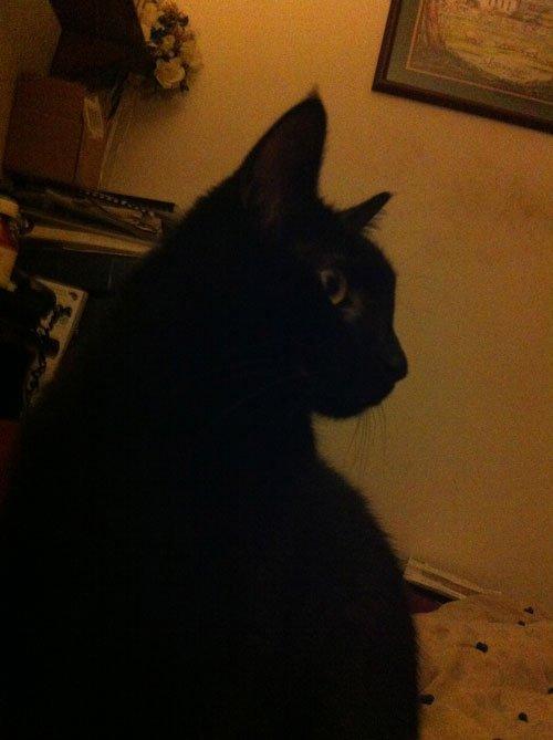 monty a black cat
