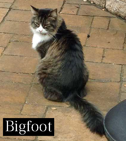 Old cat Bigfoot