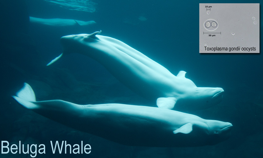 Beluga whale and toxoplasm oocyst