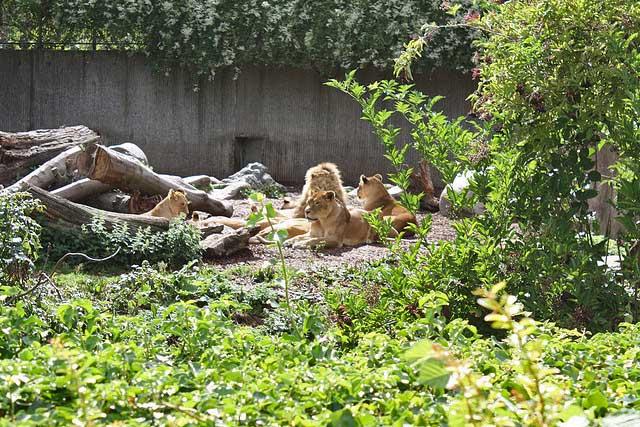 Copenhagen zoo lions