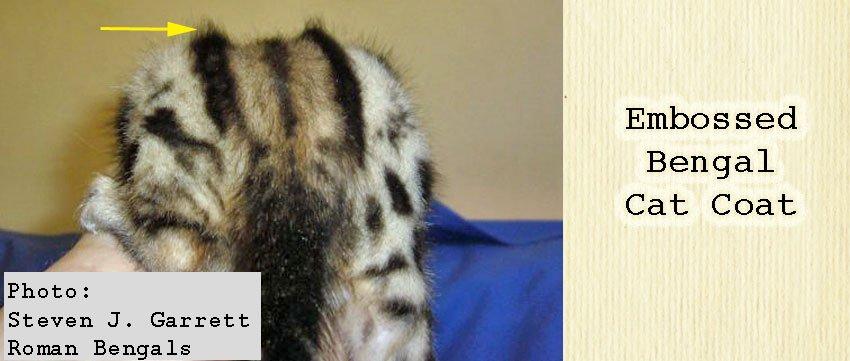 Embossed Bengal cat coat. How to select a proper Bengal cat.