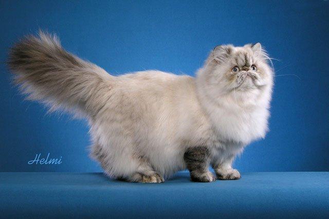Himalayan cat Evangeline