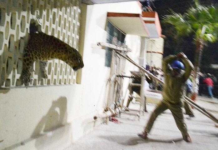 Leopard comes into contact and clashes with people in India