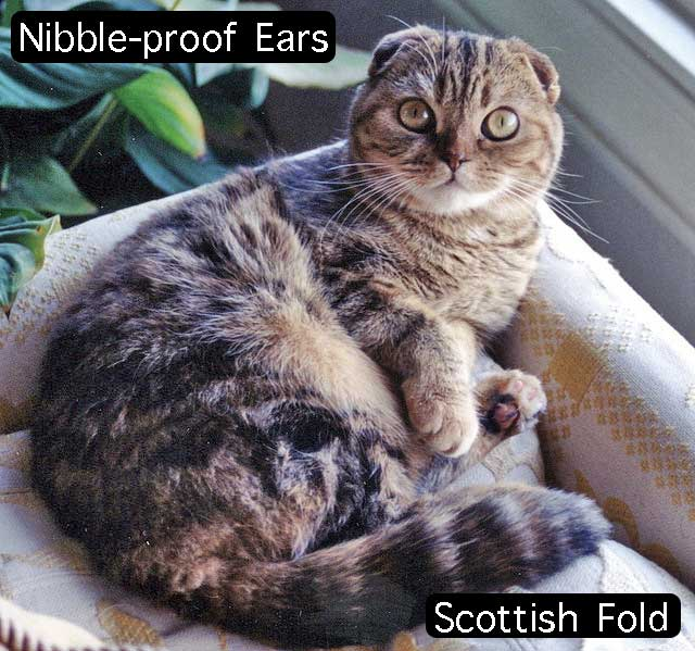 Do you like nibbling your cats ears