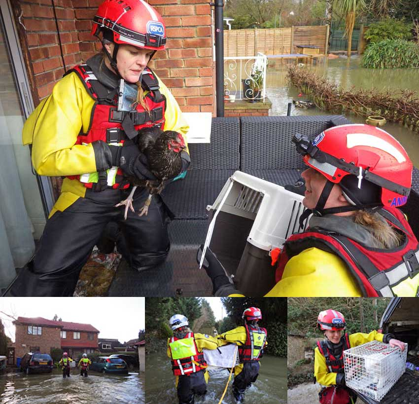 RSPCA rescue of animals - floods Wraysbury, England