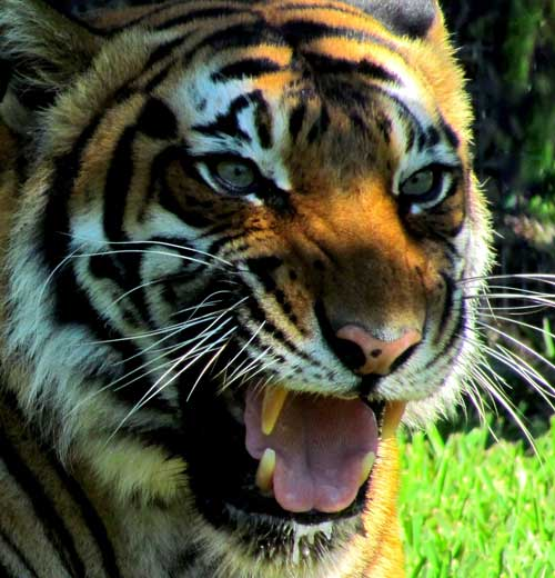 Captive wild cat crisis USA - tiger is not a pet