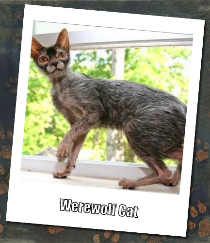 Werewolf Cat