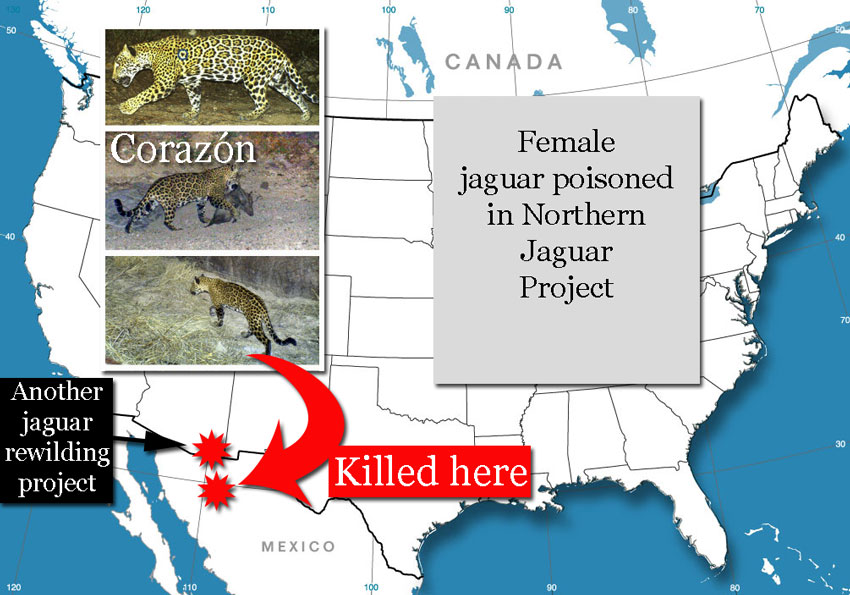 Jaguar killed in northern jaguar project