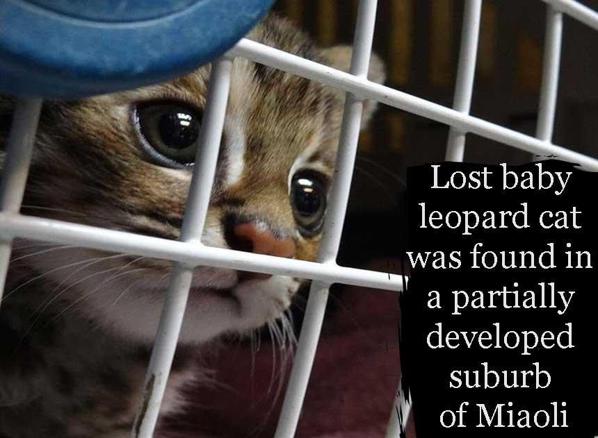 Leopard cat cub