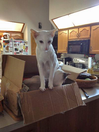 Oriental shorthairs in a box