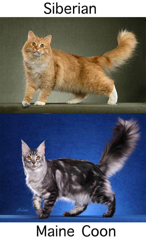 Siberian Maine Coon Comparison