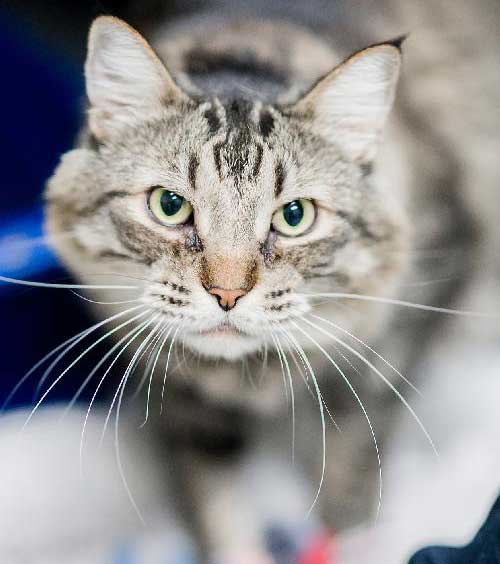 Charlie Brown - a cat rescued from storms and then relinquished.