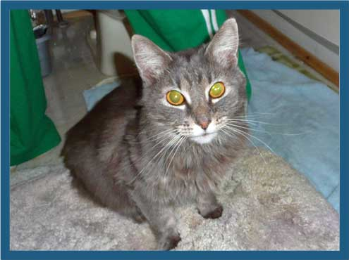 Ivy a declawed cat at her foster home