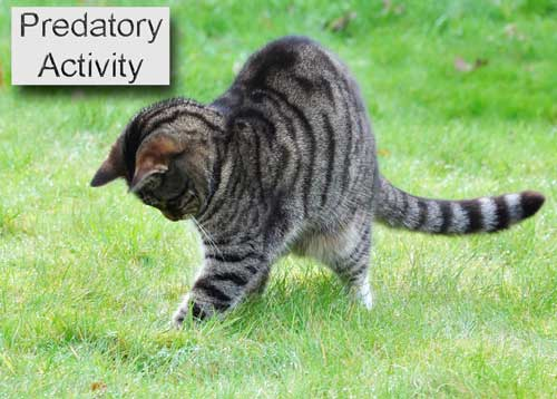 Feline predatory activity