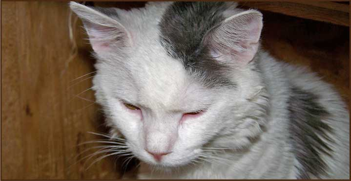 "FeLV positive rescue cat ""Pasquale"". Photo: Rocky Mountain Feline Rescue"