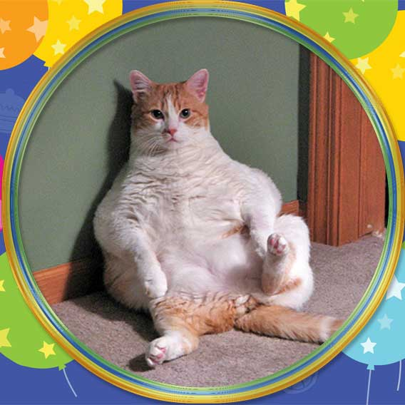 Flabby obese cat
