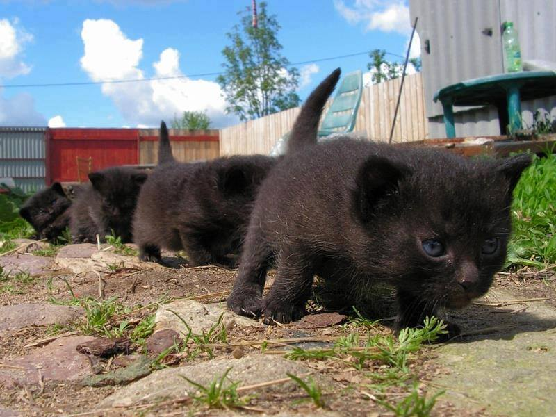 march of the black kittens