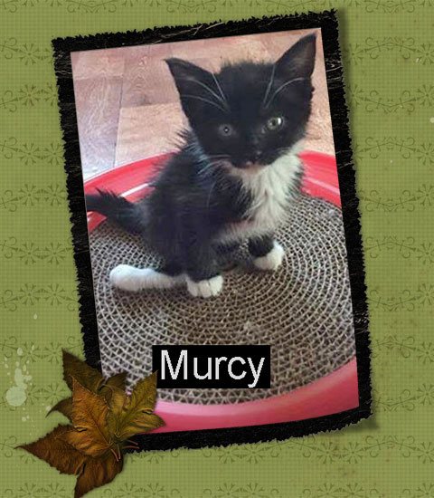 Murcy kitten with twisted hind limbs