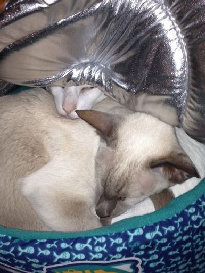 Oriental Shorthairs in bed together