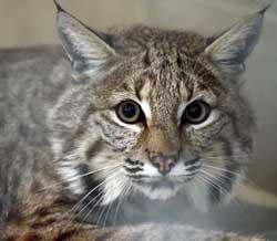 A pet bobcat
