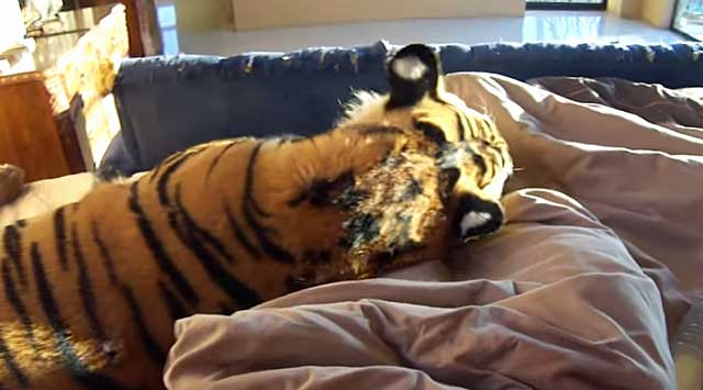 tiger at bottom of bed