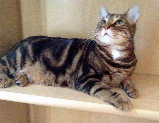 bengal cat wild cat hybrid or a moggie?