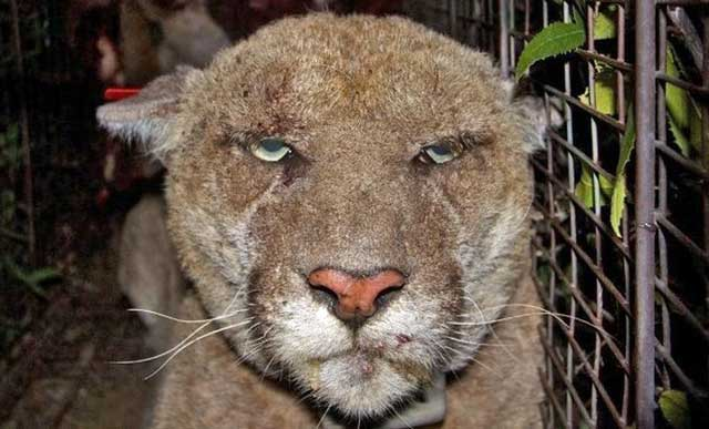 Mountain lion with mange and poisoned by rodenticide