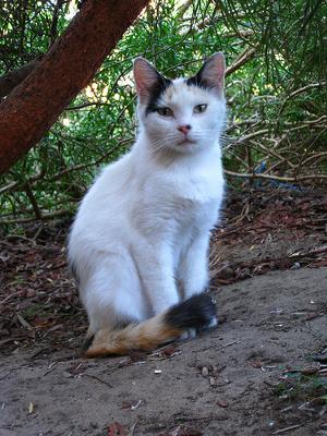 Feral cat Australia