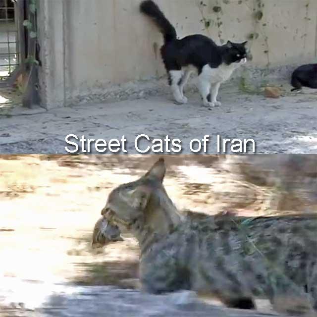 Street cats of Iran