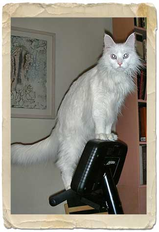 White cat on exercise machine