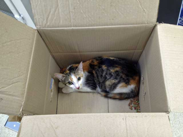 Abandoned Calico cat in a box with some dry food