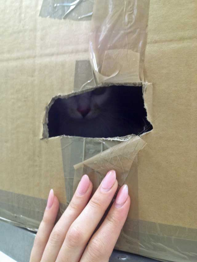Abandoned Calico cat peering through a cut out inside a box