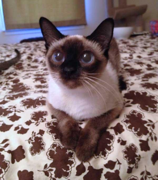 Annie Toybob cat