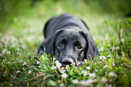 black dog in grass and flowers