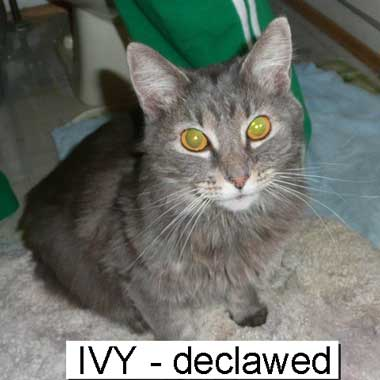 Declawed Cat