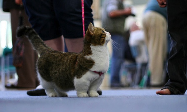 Dwarf cat on leash at cat show