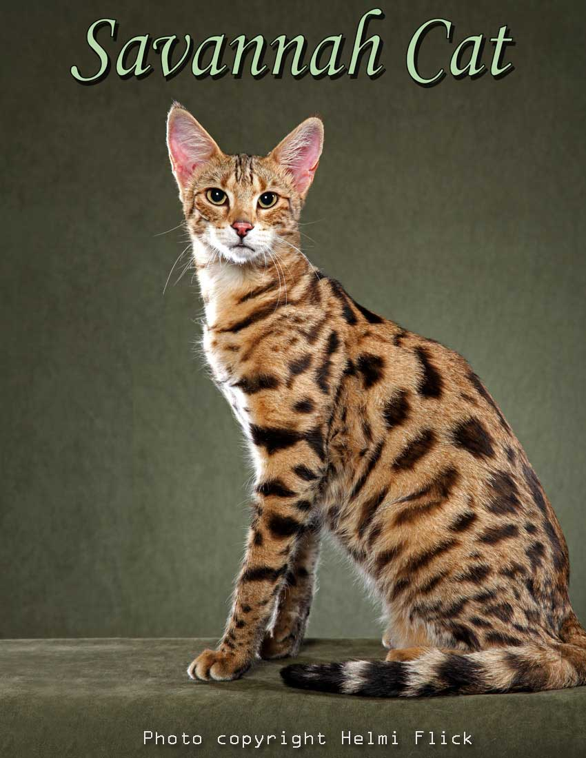 Female Savannah cat. Possibly F2 (second filial)