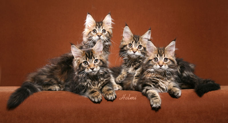 Maine Coon Kittens - Tabbies and Torbies. Photo copyright Helmi Flick