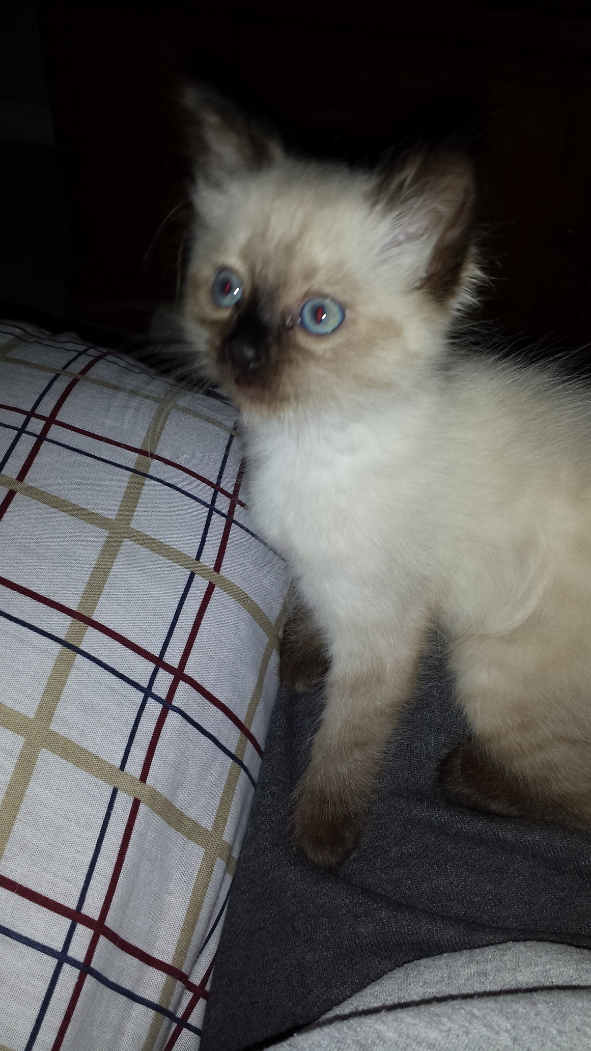 Ragdoll Siamese Mix Kitten Purring Loving Machine