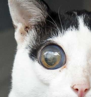 Cat with glaucoma in his right eye