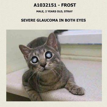 cat glaucoma