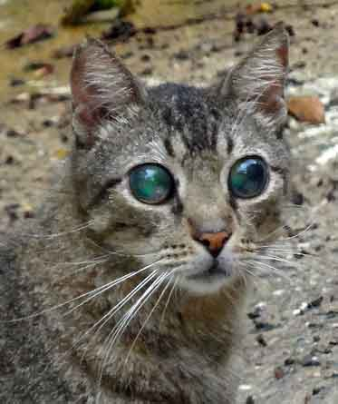 Cat with both eyes diseased